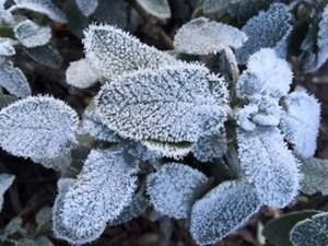 Qualifications. frosty leaves